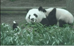 搞笑gif动态图:国宝熊猫宝宝吃竹子gif动态图:吃货再吃东西的时候千万别去打扰