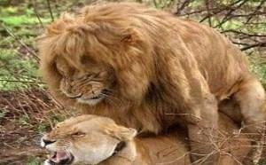 没内涵邪恶gif:实拍狮子交配的图片