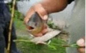 鱼gif动态图片 夺命剪刀嘴