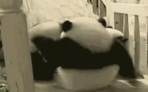 3个大熊猫玩滑滑梯 你是想摔死我们吗